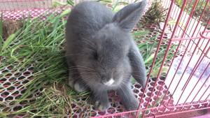 宠物:养垂耳兔的一些经验总结